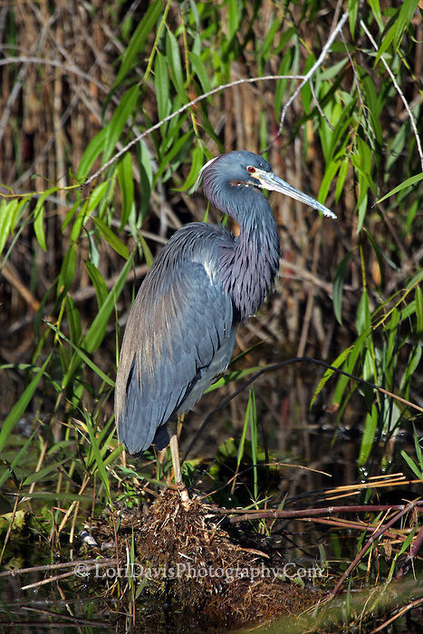 Tricolored Heron #H38