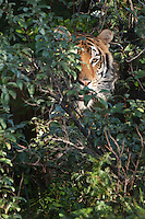 Siberian Tiger peering through the brush - CA