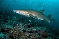 grey nurse shark or sand tiger shark, Carcharias taurus, critically endagered in Australia, Fish Rock, South West Rocks, New South Wales, Australia, South Pacific Ocean
