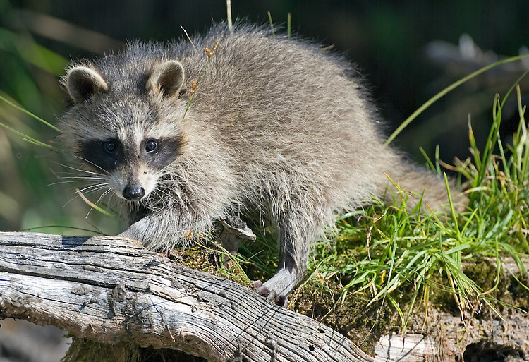 Raccoon watching intently from on top of an old tree stump - CA