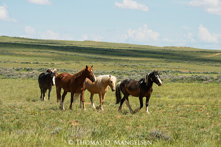 A herd of Wild Horses walk together in the green fields in Northwest Wyoming.