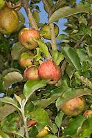 Apfel, Apfelbaum, Äpfel, Kultur-Apfel, Obst, Malus domestica, Apple, Obstbaum