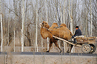"Asien CHINA Provinz Xinjiang uigurische Doerfer bei Stadt Kashgar hier lebt das Turkvolk der Uiguren , die sich zum Islam bekennen, Farmer mit Kamelkarren auf Weg zum Markt  | .Asia CHINA province Xinjiang uighur villages around city Kashgar where uyghur people are living .| [ copyright (c) Joerg Boethling / agenda , Veroeffentlichung nur gegen Honorar und Belegexemplar an / publication only with royalties and copy to:  agenda PG   Rothestr. 66   Germany D-22765 Hamburg   ph. ++49 40 391 907 14   e-mail: boethling@agenda-fototext.de   www.agenda-fototext.de   Bank: Hamburger Sparkasse  BLZ 200 505 50  Kto. 1281 120 178   IBAN: DE96 2005 0550 1281 1201 78   BIC: ""HASPDEHH"" ,  WEITERE MOTIVE ZU DIESEM THEMA SIND VORHANDEN!! MORE PICTURES ON THIS SUBJECT AVAILABLE!! ] [#0,26,121#]"