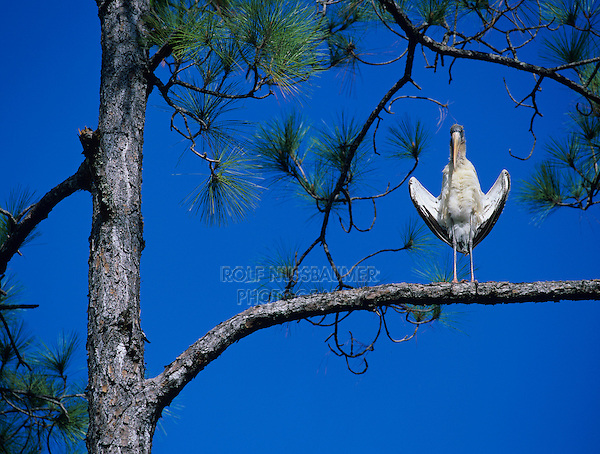 Wood Stork, Mycteria americana, immature sunbathing on Pine Tree, Six Mile Cypress Slough Preserve, Fort Myers, Florida, USA