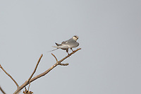African Scissor-tailed Kites