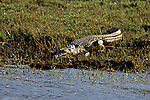 Crocodile Along The Zambezi River