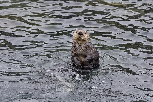 Curious Sea Otter (Enhydra lutris) , Prince William Sound, Alaska.  Spring.