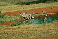 Zebras at watering hole drinking, Kenya Africa
