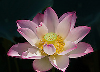 A pink lotus in full bloom with black background