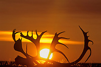 Caribou skull and antlers, arctic tundra, Fall