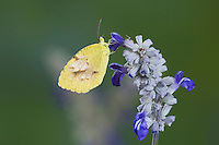 Sleepy Orange, Eurema nicippe, adult on Mealy sage (Salvia farinacea), Uvalde County, Hill Country, Texas, USA