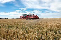 Applying glyphosate to wheat pre harvest - Lincolnshire, July