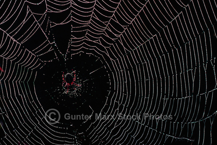 Spider (Araneae) hanging in center of Spider Web with Dew Drops, Oahu, Hawaii, HI, USA
