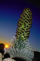 Large Silversword or ahinahina at sunrise on Haleakala in Haleakala National Park in full bloom at the summit parking lot. One of Hawaii's two state flowers, they only bloom once in their life.