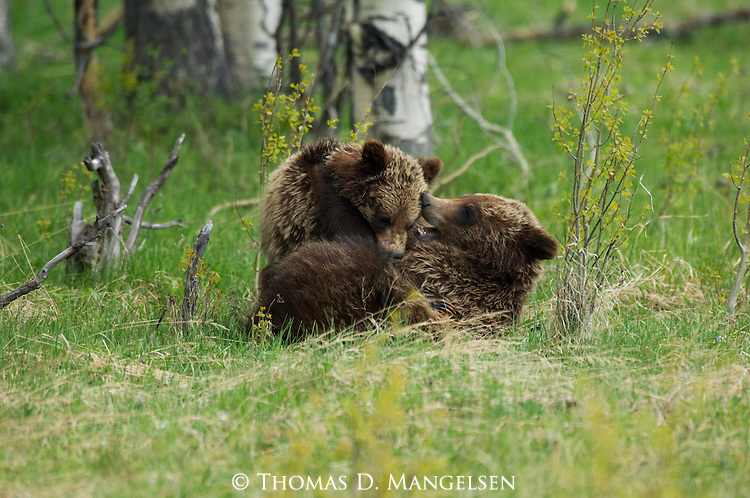 Two grizzly cubs playing in Grand Teton National Park, WY