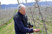 Retired Washington State University Emeritus Professor of Horticulture, Dr. Bruce Barritt, checks on Cosmic Crisp nursery trees in the McDougall & Sons Inc., orchards in Wenatchee, WA on April 13, 2018. The new variety of apple is being developed by the Washington State University Tree Fruit Research and Extension Center. Cosmic Crisp apples will debut with consumers in 2019. (Photo by Karen Ducey)