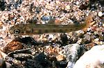 Atlantic Salmon Fry in Souhegan River, NH.