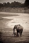 African elephant female with young calf, South Luangwa National Park, Zambia. [Sepia Tone]  (This species is found in many African countries including South Africa, Botswana, Zambia, Zimbabwe, Namibia, Tanzania, Kenya, Rwanda, Uganda, Angola, Democratic Republic of Congo)