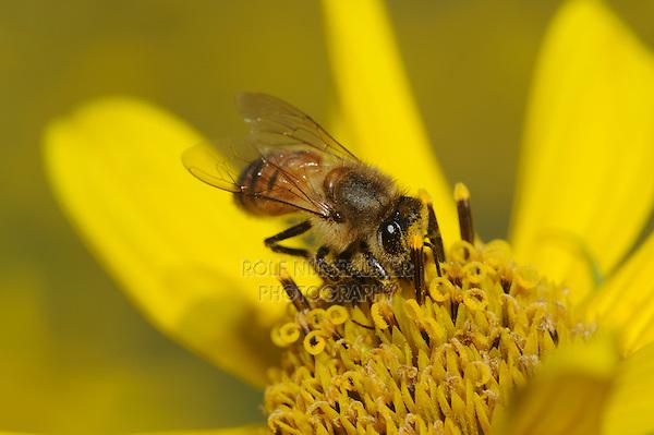 Honey Bee (Apis mellifera), adult feeding on Maximilians Sunflower (Helianthus maximilianii), Comal County, Hill Country, Central Texas, USA