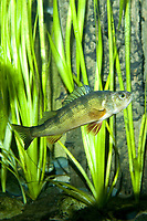 Percidae Perca flavescens, Yellow Perch (c)