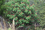 The buckeye blooms are showy and occur in early spring.  This speciman is an expecially large one.