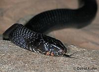 "0218-08rr  Eastern Indigo Snake ""Flicking Tongue"", Drymarchon corais couperi © David Kuhn/Dwight Kuhn Photography"