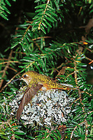 Female rufous hummingbird sitting on nest.  Pacific Northwest.  May.   Wings maybe spread out as a means of regulating temperature--keeping cool.   Note: Original lost by C.I. and scan is all that is available at this time.