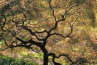 Acer palmatum dissectum-Cut Leaf Maple