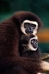 White-handed gibbon, Indonesia
