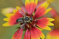 Leafcutter bee, solitary bees (Megachile sp.), adult feeding on Indian Blanket, Fire Wheel (Gaillardia pulchella), Texas, USA