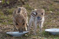 Wildschwein, verwaiste, pflegebedürftige, in Menschenhand gepflegte, zahme Jungtiere fressen im Garten, Wild-Schwein, Schwarzwild, Schwarz-Wild, Frischling, Junges, Jungtier, Tierkind, Tierbaby, Tierbabies, Schwein, Sus scrofa, wild boar, pig