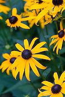 Rudbeckia fulgida var. sullivantii Goldsturm, Black eyed Susan daisies