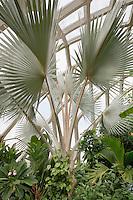 Bismark Palm (Bismarckia nobilis) fan shape foliage leaf in Tropical Conservatory at Denver Botanic Garden, Colorado