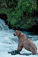 609682172 a wild adult brown bear ursus arctos stands in the river after eating a salmon in katmai national park alaska