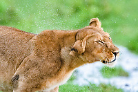lion (Panthera leo), adult female, lioness, in rain, Ndutu, Ngorongoro Conservation Area, Serengeti, Tanzania, Africa