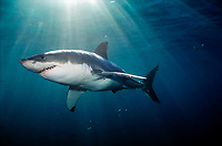 great white shark, Carcharodon carcharias, Neptune Islands, Australia (de)