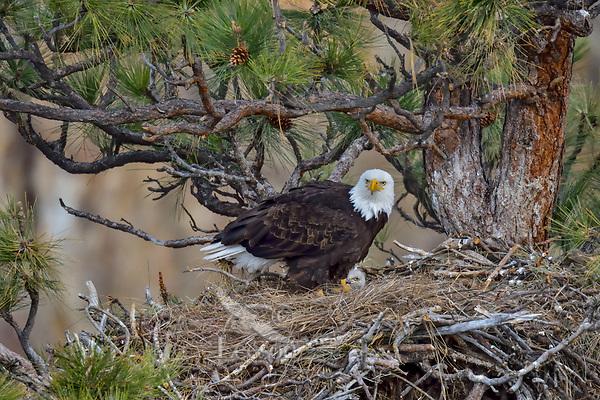 Bald Eagle Nest (Haliaeetus leucocephalus)--adult with ten day old eaglet in tall ponderosa pine tree.  Oregon.  April.