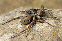 Wolf Spiders {Pardosa sp.} mating, with male on top of female reaching underneath her with his palps. Peak District National Park, Derbyhsire, UK. May.