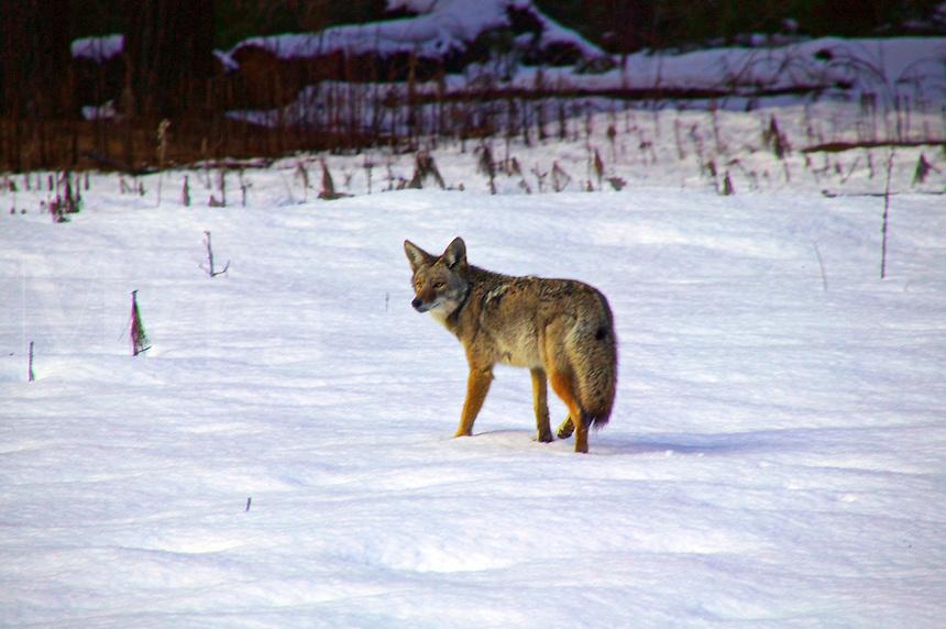 coyote Yosemite Valley
