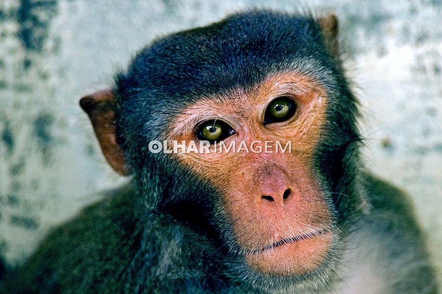 Animais. Mamiferos. Macacos Rhesus ( Macaca mulatta). Foto de Caetano Barreira.
