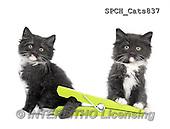 Xavier, ANIMALS, REALISTISCHE TIERE, ANIMALES REALISTICOS, cats, photos+++++,SPCHCATS837,#A#