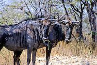 Gnoe, Wildebeest (Connochaetus taurinus)