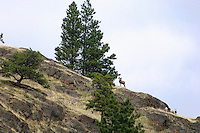 Rocky Mountain Bighorn Sheep or Mountain Sheep (Ovis canadensis).  Western U.S., fall.