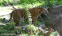 0328-1013  Malayan Tiger, Panthera tigris malayensis  © David Kuhn/Dwight Kuhn Photography.