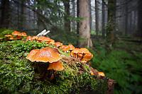 Orange Pinwheel Marasmius (Narasmius siccus (Schw.) Fr.)
