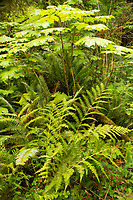 Ferns and devil's club are major players in the understory of the temperate rainforest. Location: Quinault Rain Forest Trail, Olympic National Forest, Washington, US