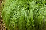 STIPA TENUISSIMA, PONYTAILS GRASS