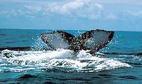 ISLA GORGONA- COLOMBIA-21-08-2000 . La cola de una Ballena Yubarta, se ve en las aguas del Oceano Pacífico, frente a la costa de la Isla Gorgona, Departamento del Cauca /  The tail of a Humpback Whale, is seen in the waters of the Pacific Ocean, in the coast of Isla Gorgona, Cauca Department. Photo: VizzorImage / Luis Ramirez / Staff.