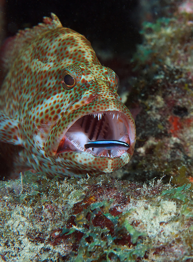 Oh My, What Big Teeth You Have.  The fearless Neon Goby busy at work cleaning parasites out of the mouth of a Graysby.  Picture taken in terrible visibility on Boca Artificial Reef, Boca Raton Florida.