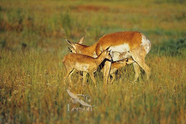 Young pronghorn antelope (Antiloapra americana) fawns nursing, Western U.S. June.